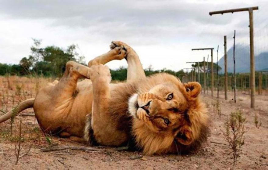 懶洋洋的獅子