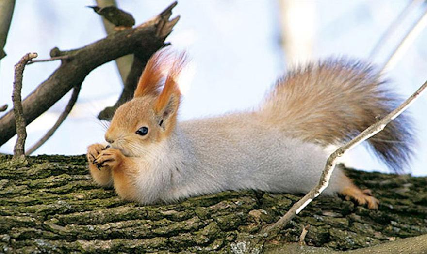 躺在樹上的松鼠