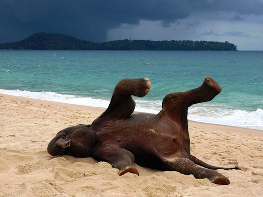 躺在沙灘上的大象