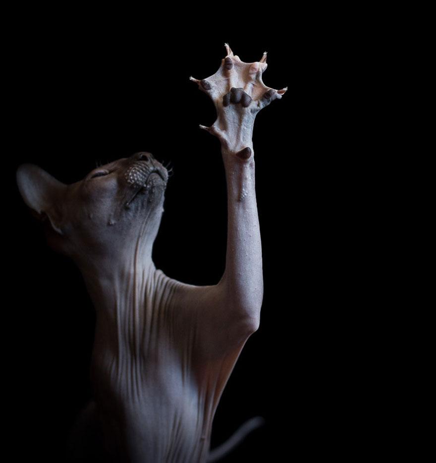 Sphynx Cat13
