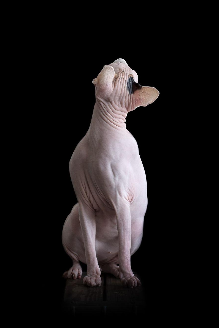 Sphynx Cat10