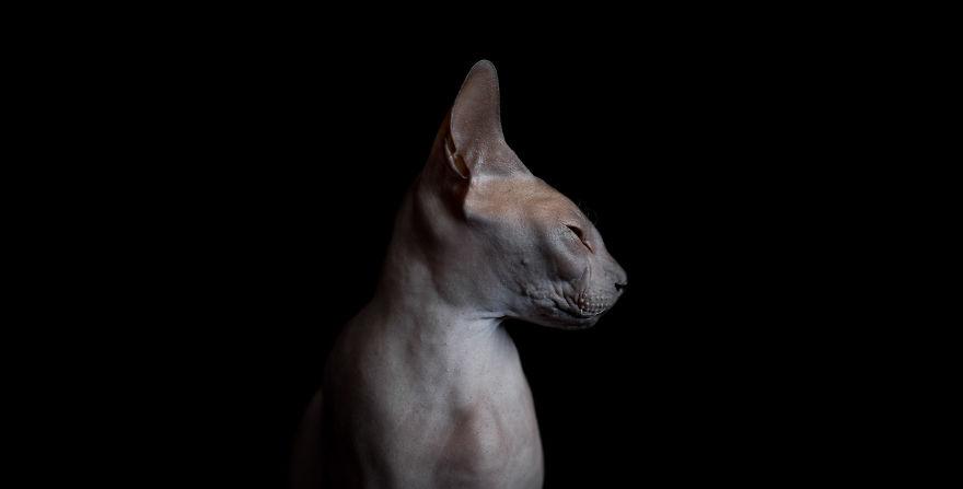 Sphynx Cat6