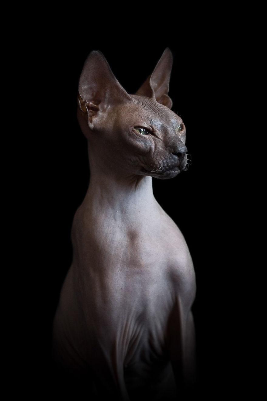 Sphynx Cat5
