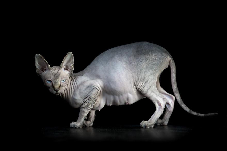 Sphynx Cat12