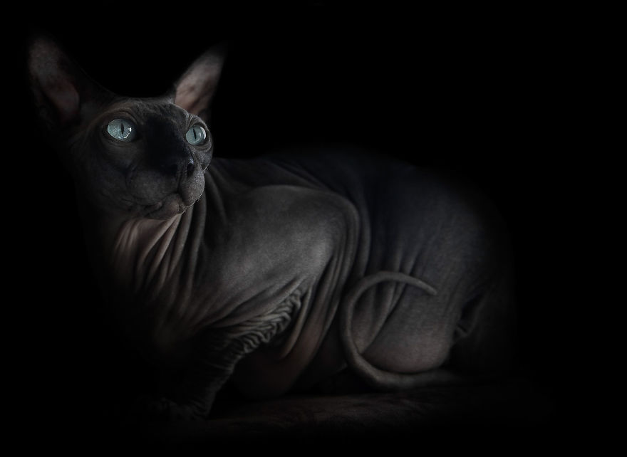 Sphynx Cat11